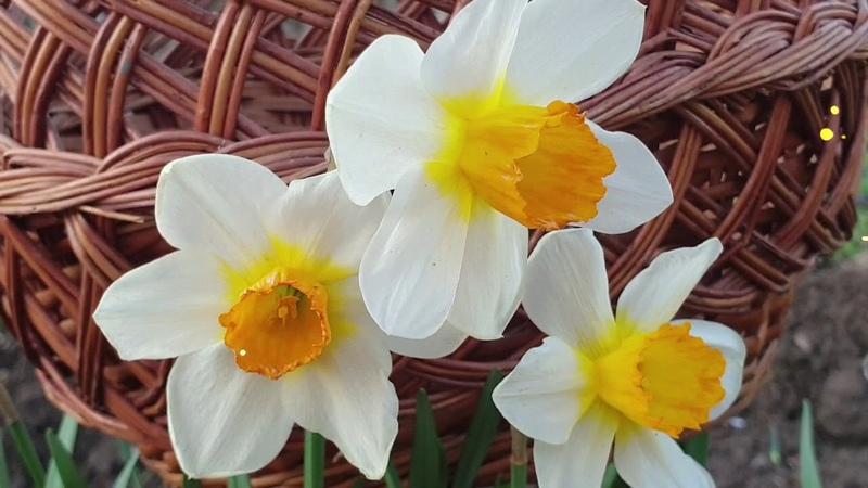 З Вербною неділею вітаю! Гарне привітання Відео Поздоровлення Листівка