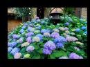 Как заставить гортензию цвести синим цветом