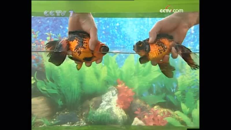 Золотые рыбки ''ЦзиньЮй'' (золото рыба), либо ''ЦзиньЮй Эр'' (золотой ребёнок рыбка). Китайская индустрия по масштабному разведе