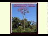 Вылечись за 1 день! Кора Муравьиного Дерева натуральный продукт