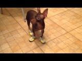 КАК Собака учится ходить в обуви