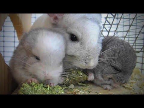 Funny Chinchilla 🐭Funny and Cute Chinchilla (Part 1) [Funny Pets]