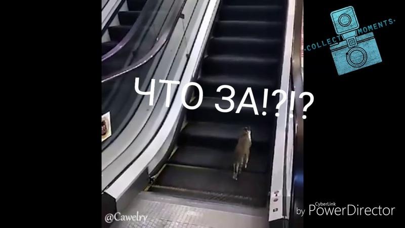 Кошка пытается подняться по эскалатору и не понимает что эскалатор едет в другую сторону😂😂😂