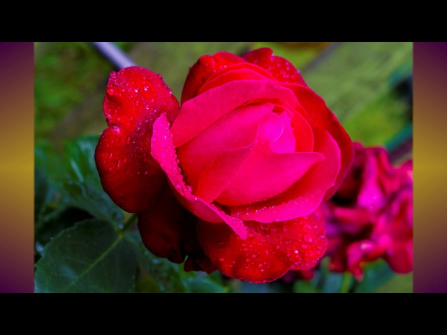 Мелодия рая. Цветы. Ф.Шопен