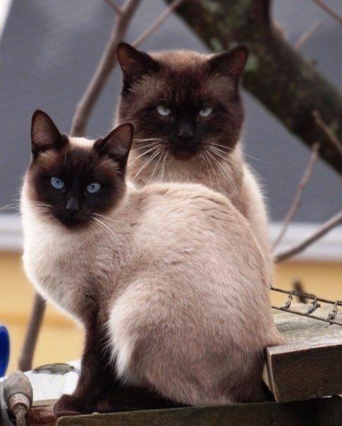 Почему тайские кошки темнеют