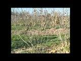 Посадка и обрезка смородины и крыжовника при выращивании по интенсивной технологии