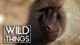Monkey Hunters Baboons VS Lions Documentary Wild Things