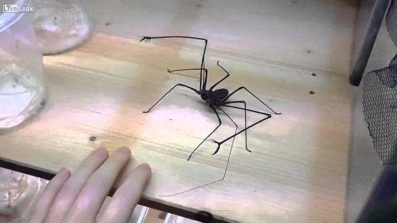 American Whip Spider