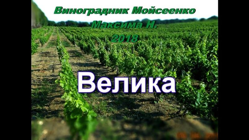 Виноград Велика урожая 2018г.