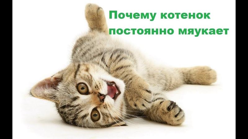 Почему котенок постоянно мяукает и пищит причины и советы Ветеринарная клиника Био Вет