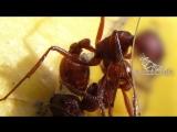 Интересные факты о муравьях.