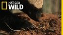 Venom Vaccine | Ultimate Honey Badger