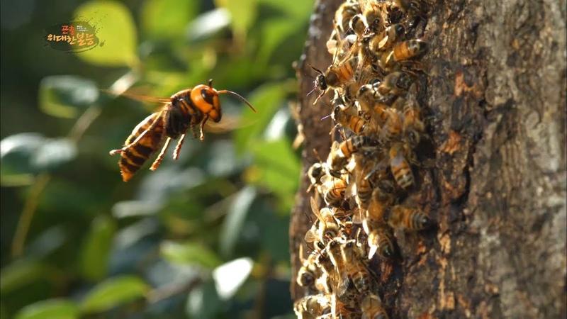 [60FPS HQ 다큐] 장수말벌의 침입을 막는 꿀벌의 처절한 사투