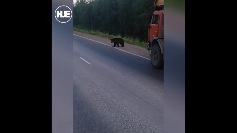 В Прикамье мишка вышел прогуляться на трассу
