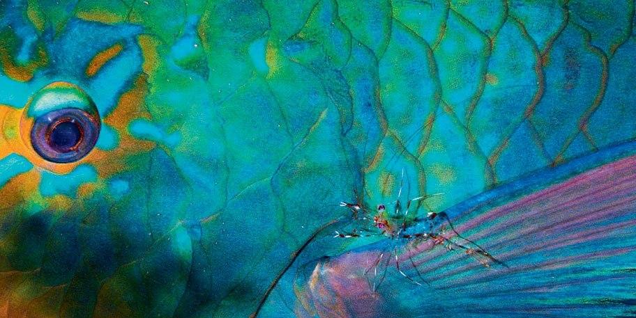 (Рыба-попугай смотрит на креветку как на...) Фото: Фабьен Миченет