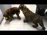Собака и тигр