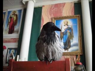 Вороненок Семен. Чистка перьев, подготовка к весенней линьке. здравствуй пух и перья
