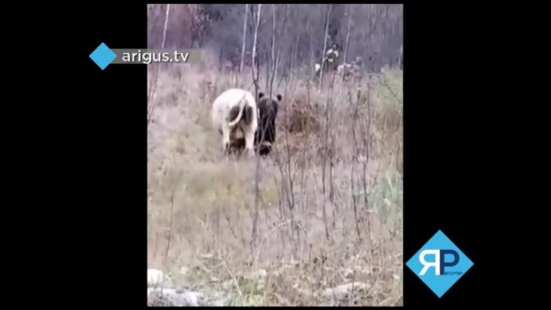 Видео нападения медведя на домашний скот набирает популярность в Сети (18)  К слову, такое происходит довольно часто, но запеча