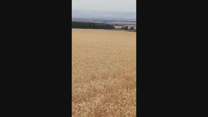 поле пшеницы товарища 2018 год
