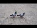 Чувство ритма у голубей