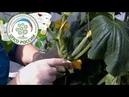 Выращивание огурцов в теплице. Формирование огурца в период плодоношения.