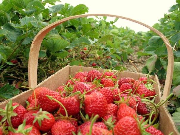 Работа в финляндии сбор клубники ягод