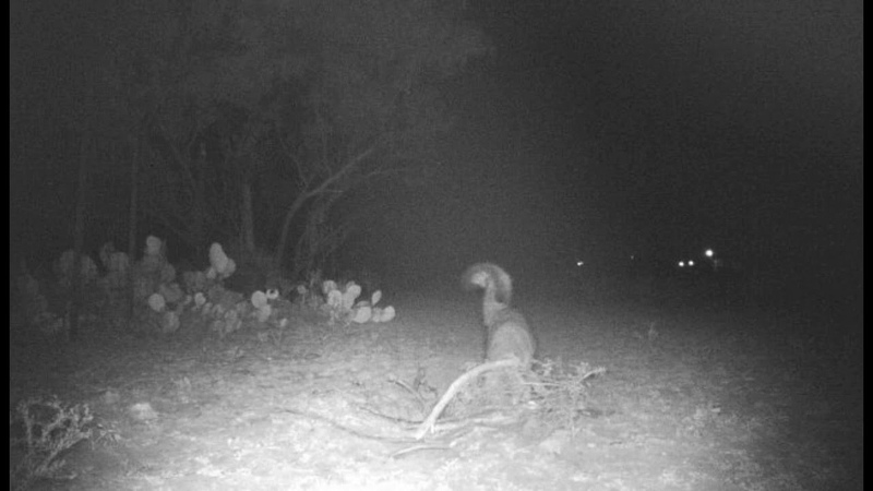 Fox Trapping with catch