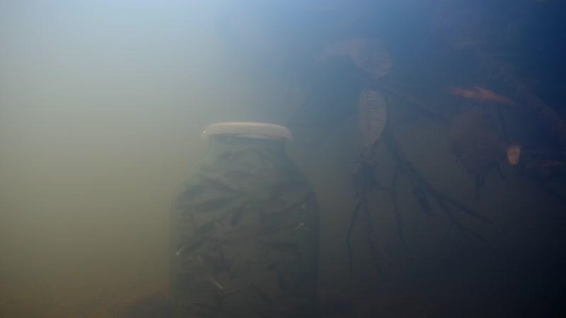 Опускал банку с мальками под воду.. реакции ноль. Зато язи под корягой плавают
