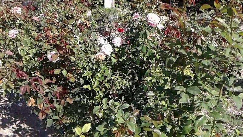 Осенняя подкормка роз, Питомник роз Полины Козловой, Наш интернет-магазин rozarium.biz