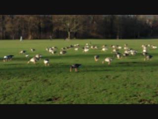 перелетные гуси в Англицком)