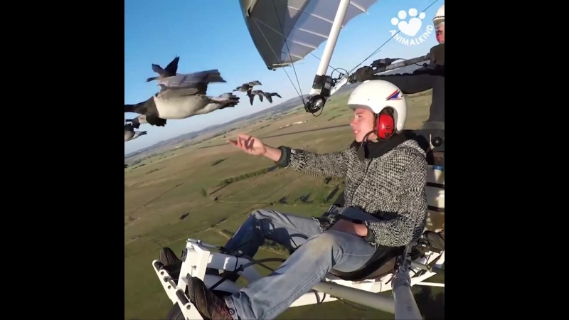 Take a magnificent flight with geese