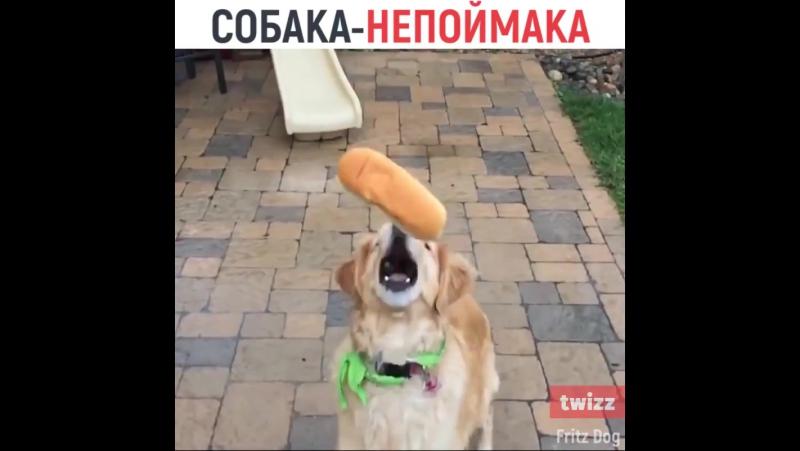 Пес, который пытается ловить еду, но у него это не очень получается.
