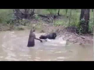 Внимание! Бой охотничьего пса с амазонской чупакаброй. Реальные сьемки.