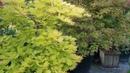 Start of summer Amazing Maples 22 June 18