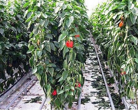 перцы и баклажаны в одной теплице: как получить хороший урожай при совместном выращивании. такие теплолюбивые южные овощные культуры как перец и баклажаны, имеющие схожие условия выращивания,