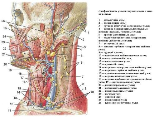 Лимфатическая система головы и