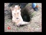 Спасение собак из люка в Логойске