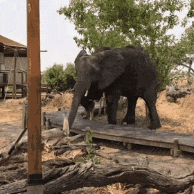 Young bull elephant politely stepping over a walkway at a nature preserve - Create, Discover and Share Awesome GIFs on Gfycat