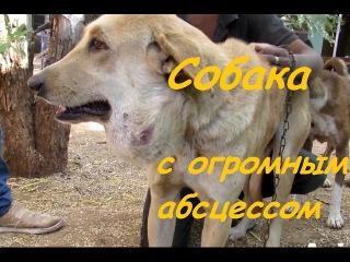 Спасение собаки с огромым абсцессом ┃ Rescue dog