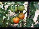 Как вырастить из пасынков много томатов