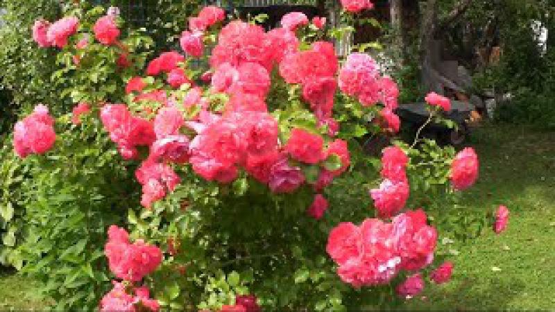 Черенкование роз / Размножаем розы / Розы из черенка / 6.08.2017
