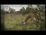 Жираф защищал новорожденного малыша от хищников. Невероятно трогательные кадры / Жираф против льва