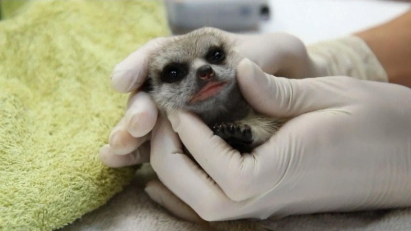 Man Steals Baby Meerkat He Fell in Love With at Zoo
