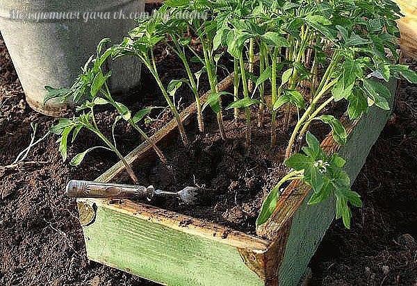 ✔ ПОЛЕЗНЫЕ СОВЕТЫ : Рассаду помидоров поливают раствором йода