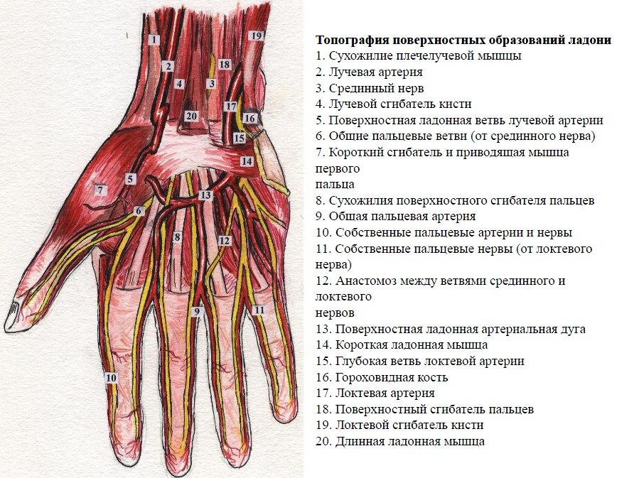 Анатомия: Атлас по топке