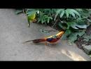 Вадим Черновецкий. -- Райская птичка в тропических зарослях Индонезии