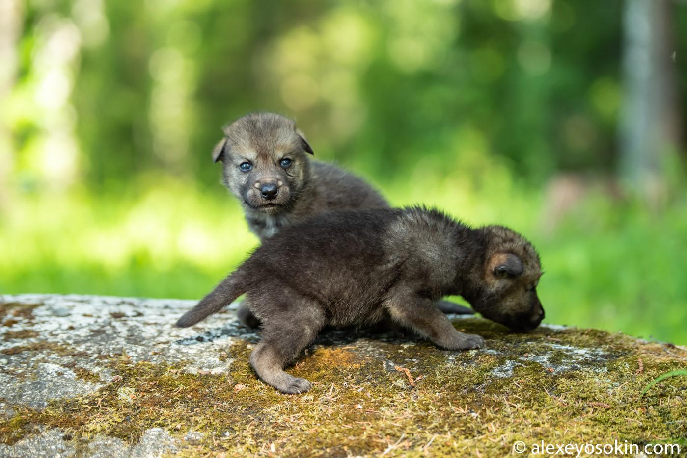 O9QIhYX5lTE - Фото новорожденных волчат