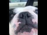 поющая собака (This is Хорошо)