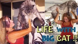 GIANT MAINE COON CAT black silver H