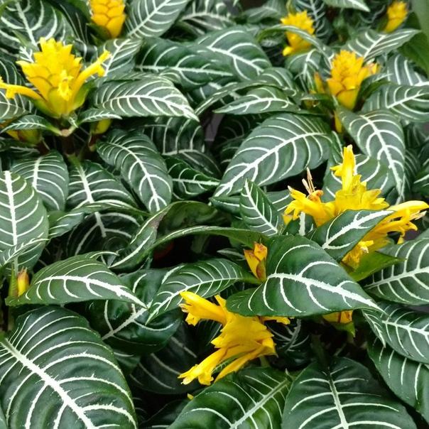 АФЕЛАНДРА Афеландра это растение невероятной красоты, цветы которого распускаются в то время, когда огромное количество цветов уже отцвели и готовятся к периоду покоя. Однако внимания у этого